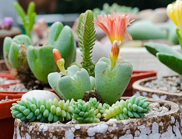 Pros and Cons of Flowering Succulents