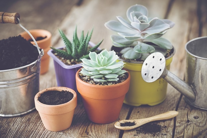 Succulent Size and Watering