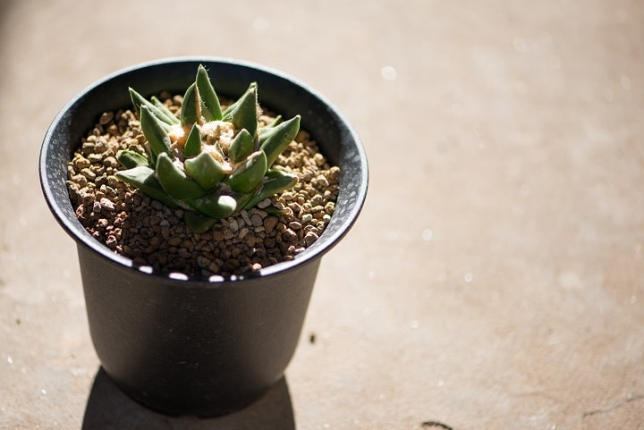 Types of Rare Succulents