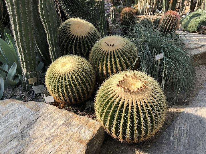 7 Best Cacti for Beginners - Ferocactus