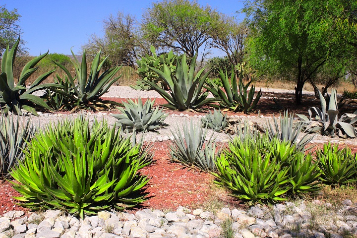 Agaves Succulent Ground Cover
