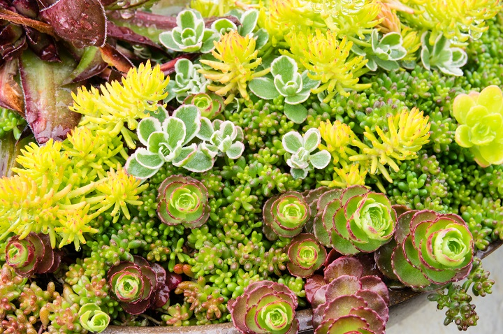 Benefits of Succulent Ground Covers
