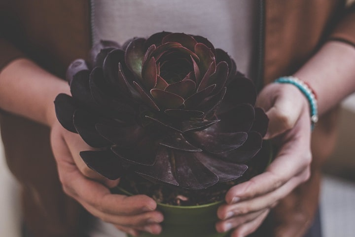 Black Succulents That Are Beyond Beautiful & Easy to Grow