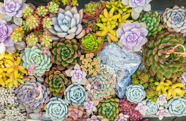 Colorful Succulents to Make Your Garden Vibrant & Dazzling
