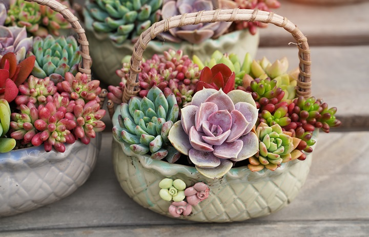 FAQ About Colorful Succulents