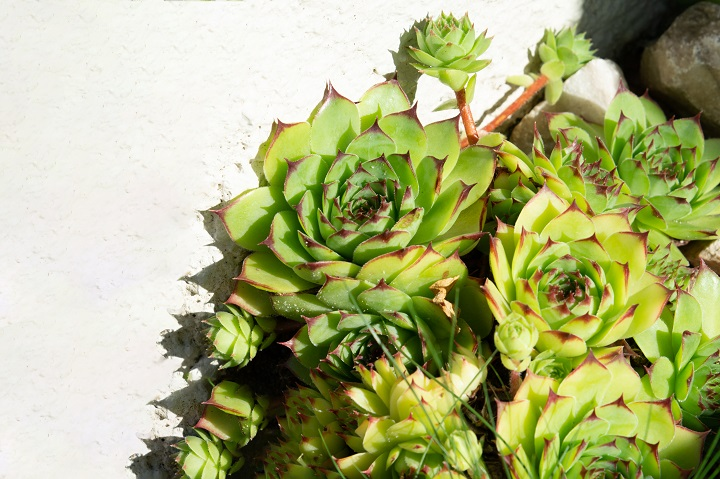Factors to Consider When Taking Care of Rose Succulents