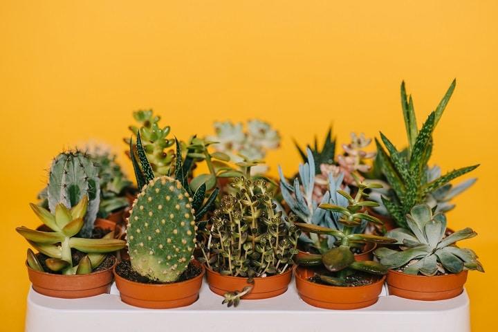 Health Benefits of Growing Succulents
