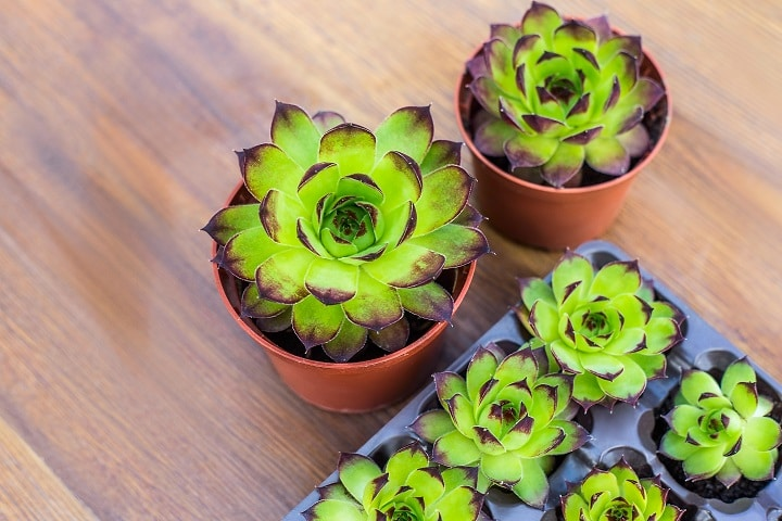 How to Grow and Water Rose Succulents