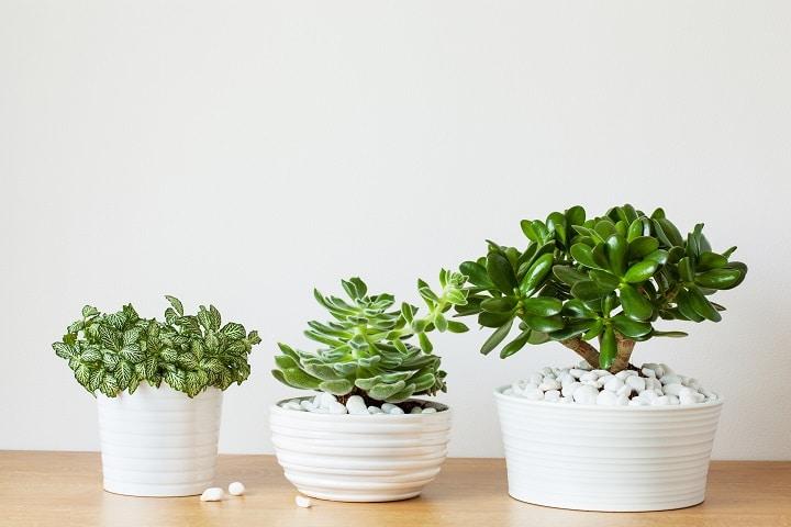 Jade Plant Low Light Succulent