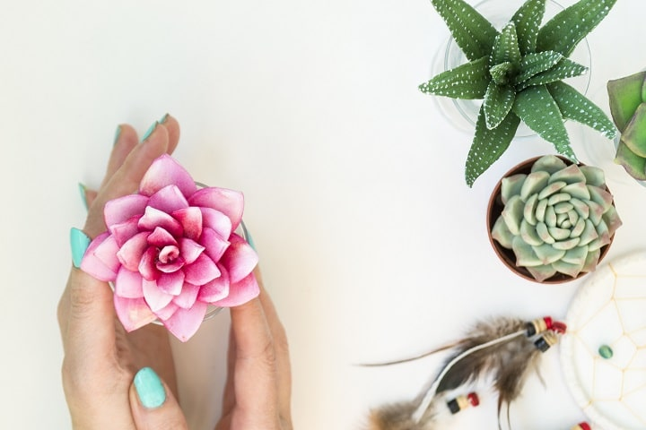 Pink Succulents – Prettiest Plant for Valentine's Day Décor