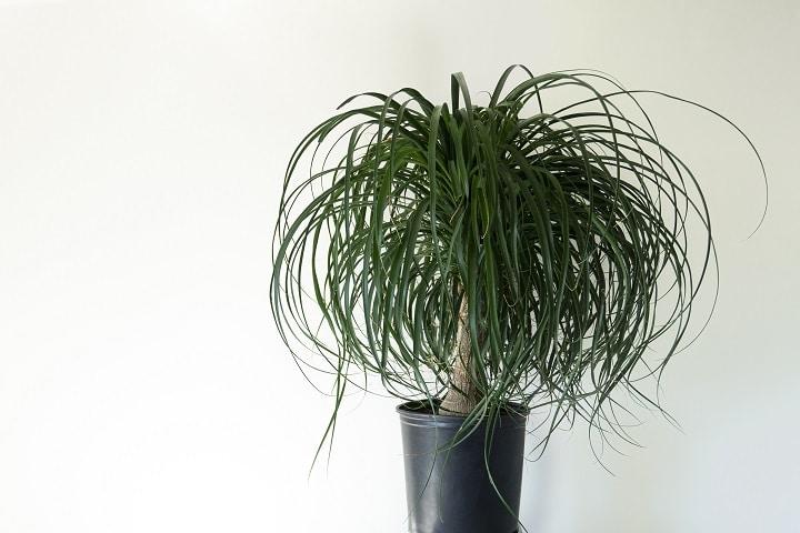 Ponytail Palm Low Light Succulent