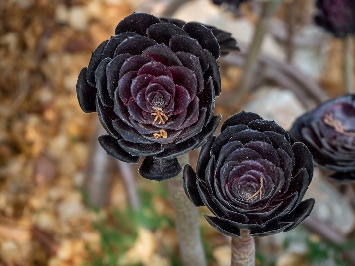 Pros and Cons of Black Succulents