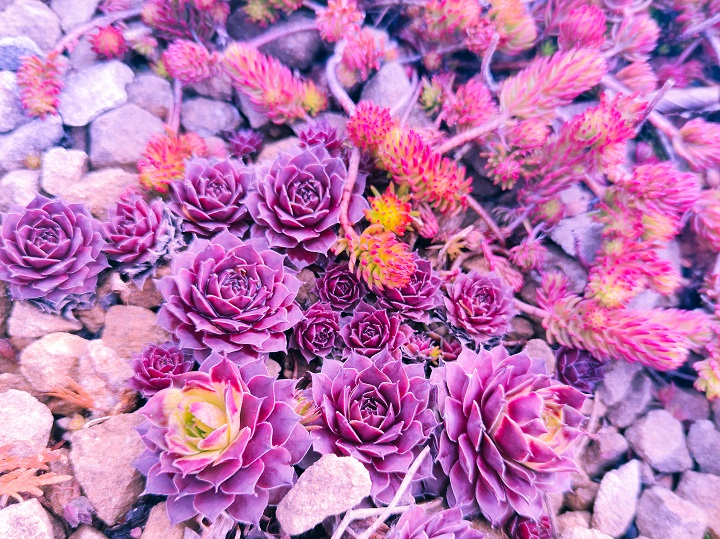 Purple Succulents – Rich Colors for Garden That Stands Out