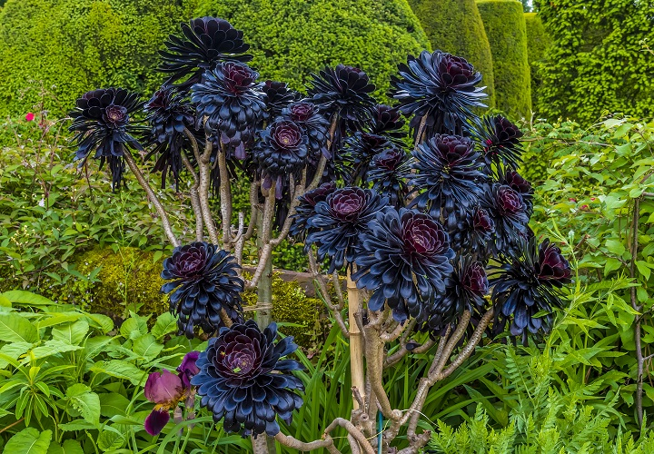 Types of Black Succulents