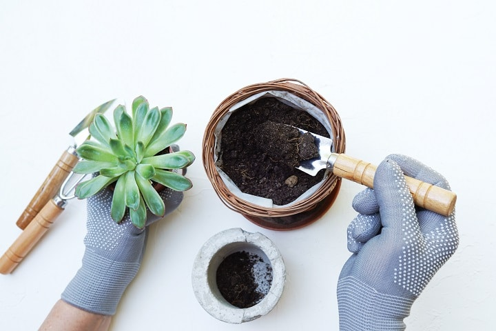 Benefits of Transplanting Succulents