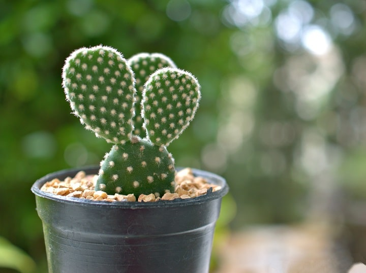 FAQ About Bunny Ears Succulent