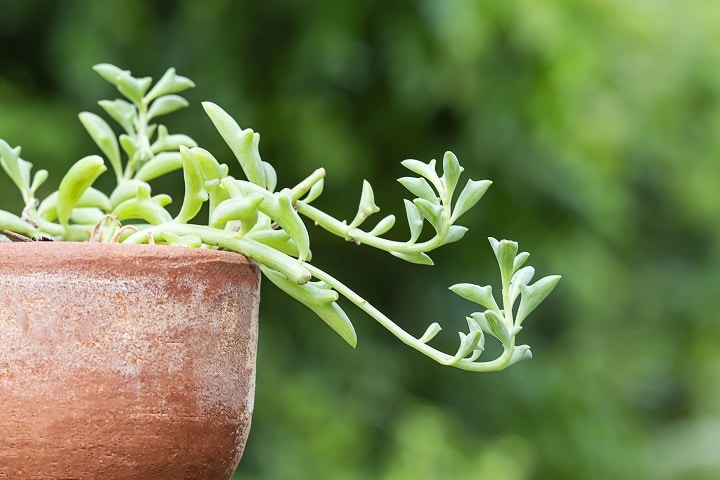 FAQ About Dolphin Succulents