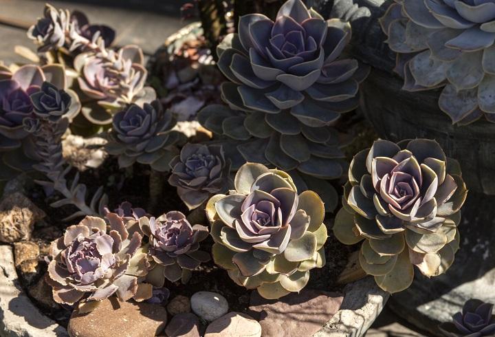 Full Sunlight Succulent Types