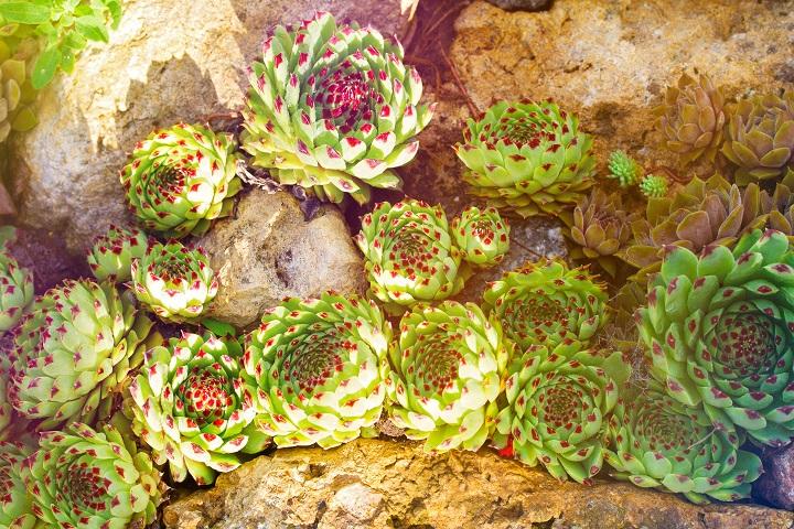 How Do Full Sun Succulents Work