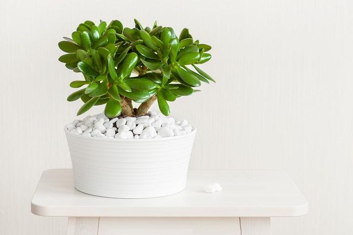 Jade Plant — Crassula Ovata