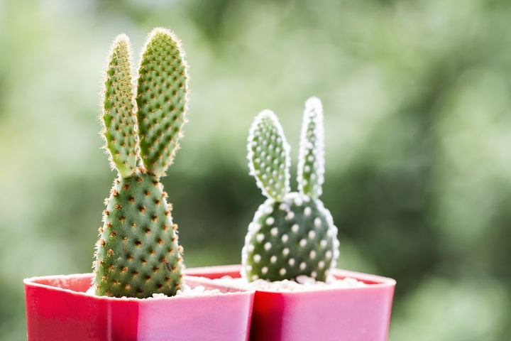 Pros and Cons of Bunny Ear Succulents