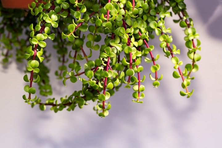 Common Issues With Elephant Bush Succulents