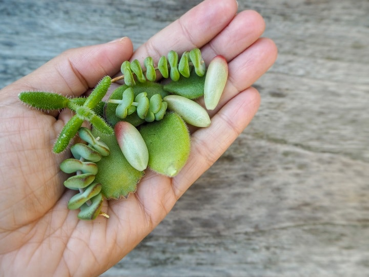 Do's and Don'ts With Succulent Leaves Falling Off