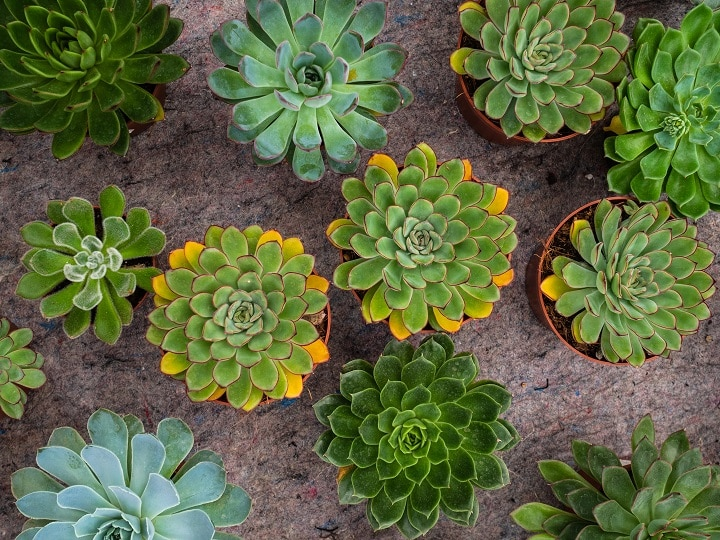 Echeveria Types – In-Depth Guide to These Pretty Succulents