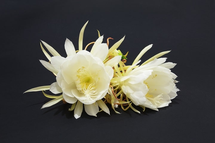 How long does it take for Epiphyllum to bloom