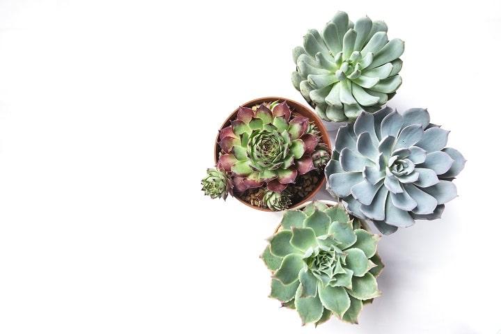 How to Grow Echeveria