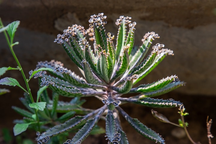 Mother of Millions – Fast-Growing Succulent Perfect for Home