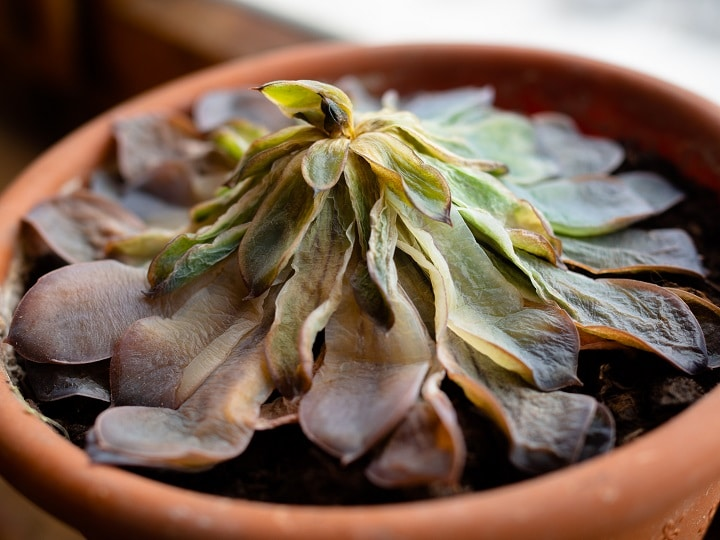 Succulents Are Brown and Mushy