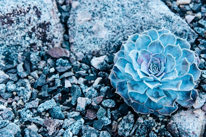 Blue Succulents That'll Add Rich Vibe to Your Outdoor Space