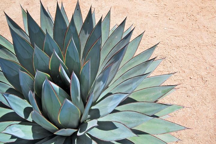 FAQ About Blue Succulents