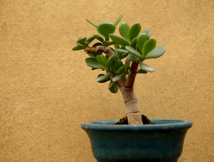 FAQ About Succulent Bonsai