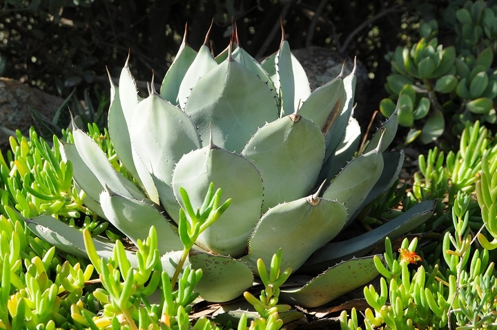 How to Grow Cold Hardy Succulents
