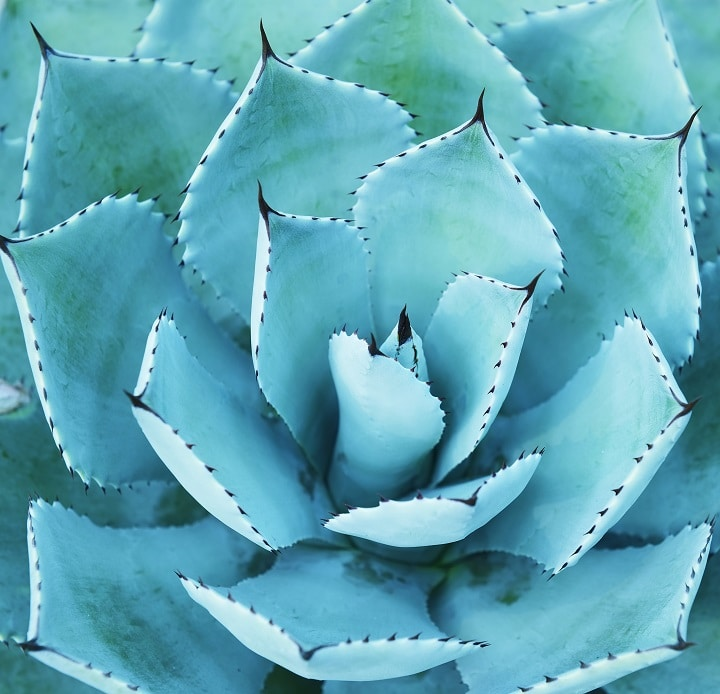 Pros and Cons of Blue Succulents