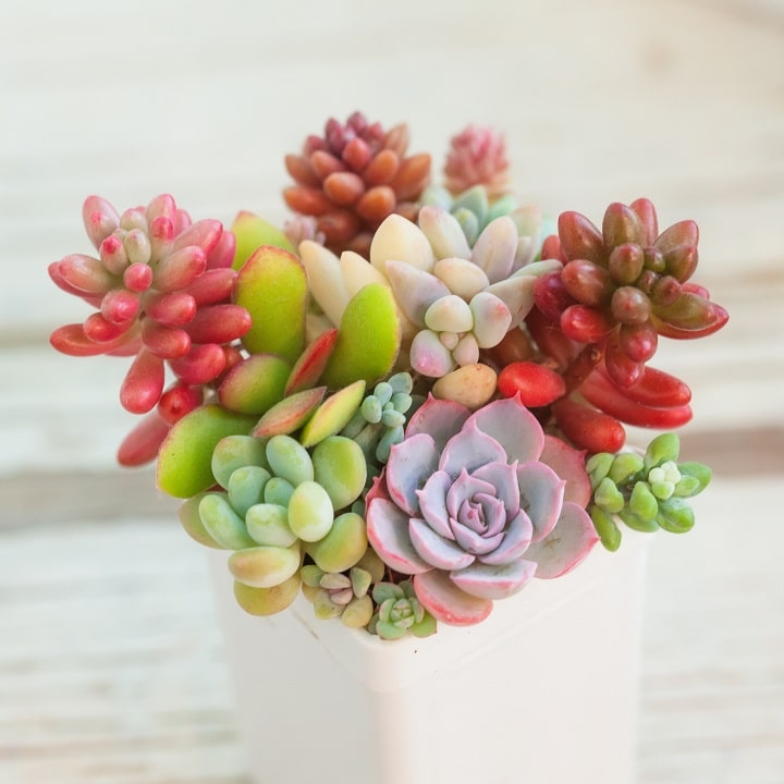 Pros and Cons of Succulent Arrangements