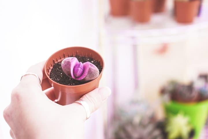 Requirements to Grow Split Rock Succulent