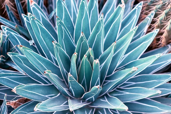 Types of Blue Succulents