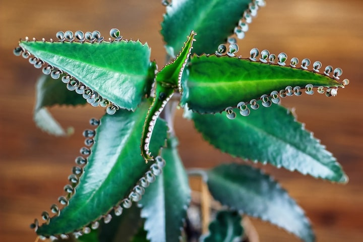 Types of Succulents - Kalanchoe