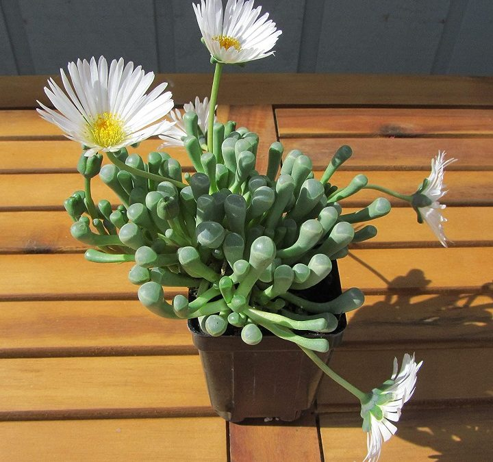 Baby Toes Succulent – Peculiar, But Amazingly Easy to Grow