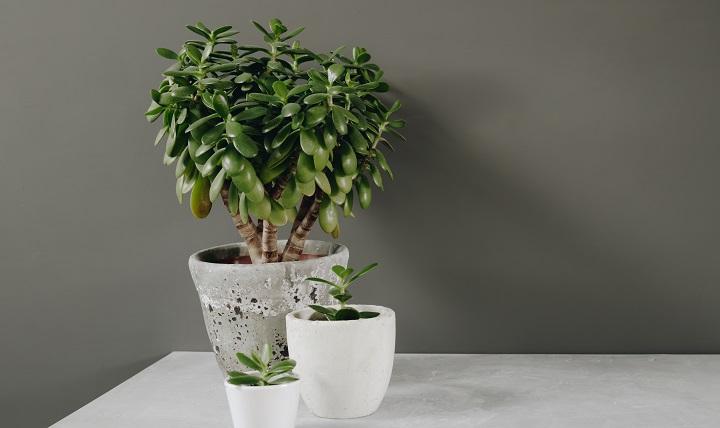 Crassula Succulents – Varieties Plus Care & Growth Guide