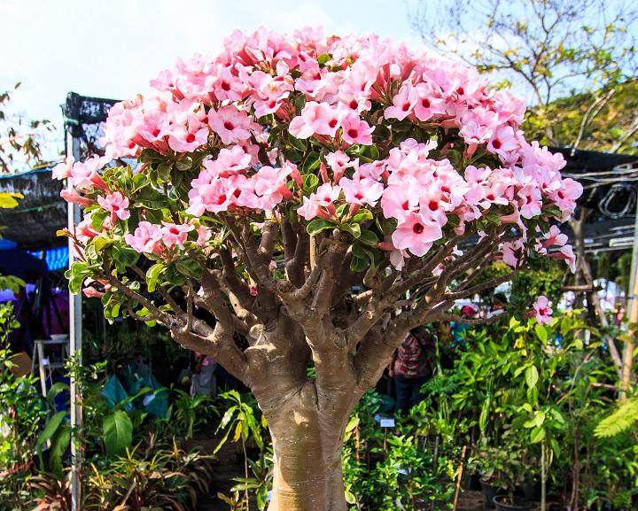 Desert Rose Succulent