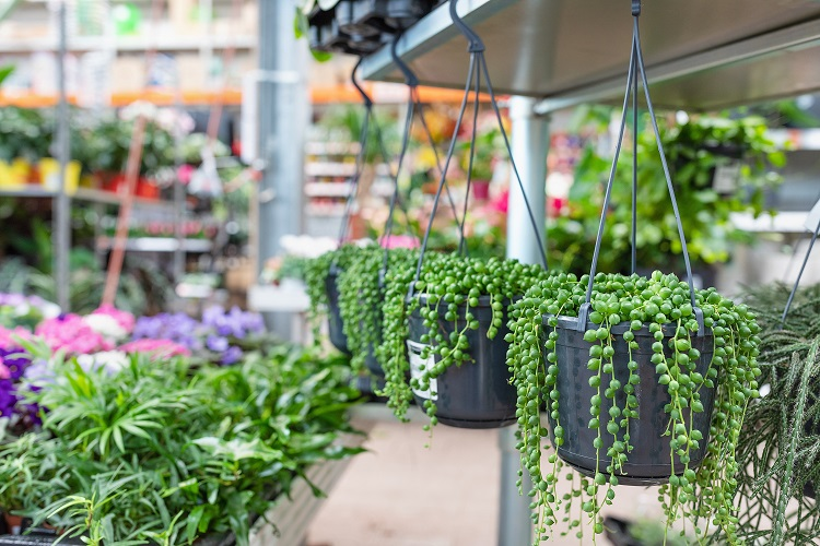 Do's and Don'ts With a String of Pearls Succulent