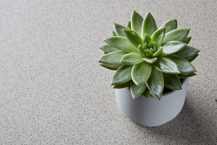 Echeveria Succulent Pot Size