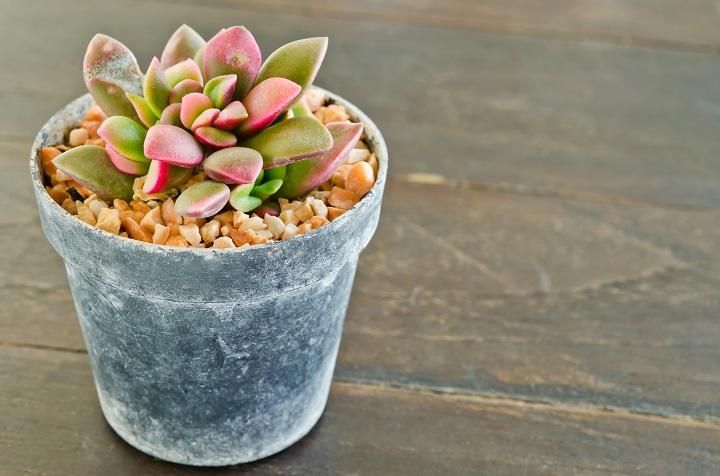 Echeveria Succulents Requirements