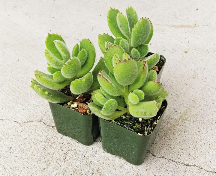 FAQ About Bear Paw Succulents