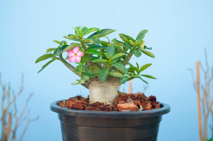 FAQ About Dessert Rose Succulents