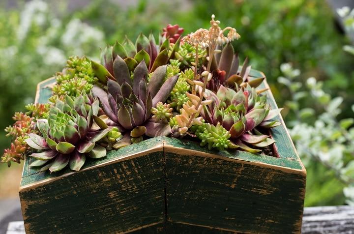 FAQ About Sedum Succulents